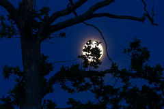 Oak leaves silhouetted Against a full moon Royalty Free Stock Image