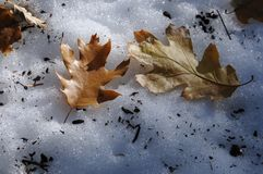 Oak leaves in snow Stock Image
