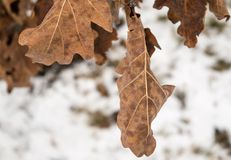 Oak leaves and snow in winter Royalty Free Stock Photos