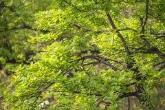 Oak Leaves In Spring Stock Image