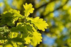 oak leaves in springtime Stock Images