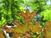 Oak leaves in summertime royalty free stock photography