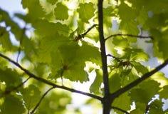 Oak leaves in the sun. Warm summer sun lignt through oak leaves Stock Photo
