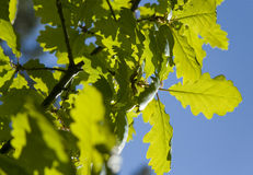 Oak leaves in the sun. Oak leaves calm in the summer sun royalty free stock photography