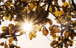 Oak leaves in the sun Stock Photos