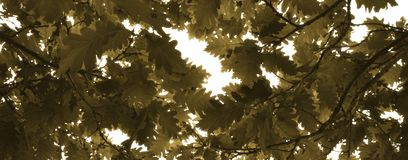 Oak leaves with sunlight Stock Image