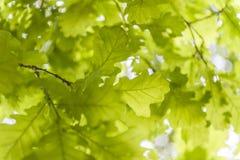 Oak leaves in sunlight Stock Image
