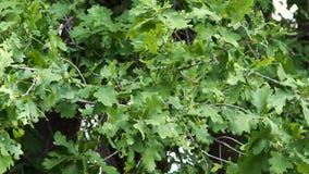 Oak leaves swaying from light wind. Green Oak leaves swaying from light wind stock video