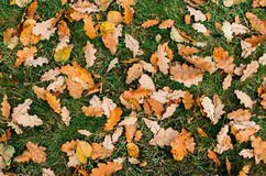 Oak leaves texture autumn Stock Image