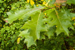 Oak leaves on a tree Stock Images
