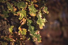 Oak leaves on a tree as the sun sets in autumn. A closeup photograph of Autumn leaves on an oak tree in the glow of a setting sun Stock Images
