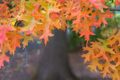 Oak Leaves on Tree Branches in Fall Season Royalty Free Stock Images