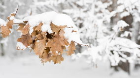 Oak leaves under snow. stock video