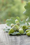 Oak leaves and unripe acorns Royalty Free Stock Photography