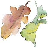Oak leaves in a watercolor style isolated. Aquarelle leaf for background, texture, wrapper pattern, frame or border stock photo