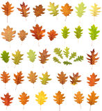 Oak leaves on white Stock Photos
