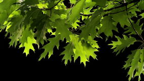 Oak leaves. On the wind isolated with black background stock video