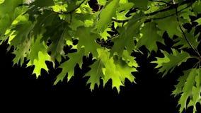 Oak leaves stock video