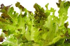 Oak lettuce Royalty Free Stock Photography