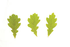 Oak leves. Green leaves of oak on the white background stock photos
