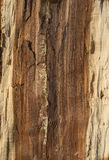 Oak log core. Half cut as background royalty free stock image