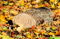 Oak logs on fallen colorful leaves Royalty Free Stock Photos
