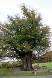 Oak Royalty Free Stock Photos
