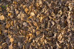 Oak and maple dead foliage in autumn. Stock Image