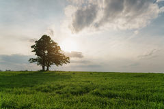 Oak and maple grow together on green field in sunset Royalty Free Stock Images