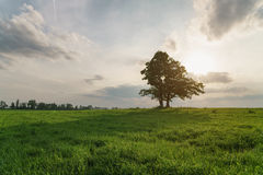Oak and maple grow together on green field in sunset Stock Photos