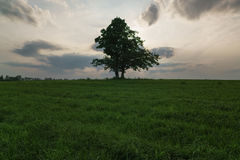Oak and maple grow together on green field in sunset. Light Stock Photography