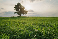Oak and maple grow together on green field in sunset. Light Stock Photos