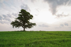 Oak and maple grow together on green field in sunset Royalty Free Stock Photo
