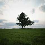 Oak and maple grow together on green field. Tranquil scene Royalty Free Stock Image