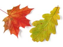 Oak and maple leaves Stock Photo