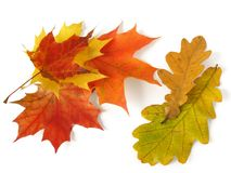 Oak and maple leaves. Some autumnal maple and oak leaves on white Royalty Free Stock Images