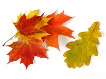 Oak and maple leaves Stock Photography