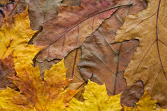 Oak and maple leaves background. Dry brown oak and muple leaves clouse-up texturd background Stock Image