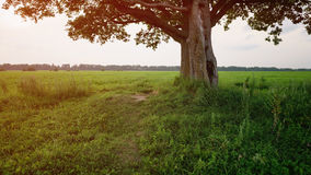 Oak and maple tree couple on summer field at sunny evening. Summertime Stock Photography