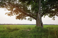 Oak and maple tree couple on summer field at sunny evening Royalty Free Stock Images
