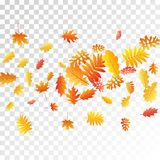 Oak, maple, wild ash rowan leaves vector, autumn foliage on transparent background. Red gold yellow sorb dry autumn leaves. Biological tree foliage october stock illustration