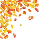 Oak, maple, wild ash rowan leaves vector, autumn foliage on white background. Royalty Free Stock Images
