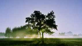 Oak in the mist of the morning Royalty Free Stock Photography