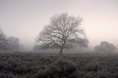 Oak in moorland in the fog Stock Photography