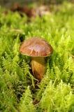 Oak Mushroom in the moss Stock Photos