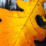 Oak. New York Nature Stock Image