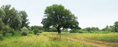 Oak next to the road Royalty Free Stock Photography