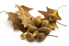 Oak nuts with leaves autumnal colored Stock Image