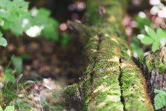 Oak in oak forest. Bark! stock photography