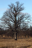 Oak among oaks. Stock Photo